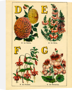 D for Dahlia, E for Erica, F for Fuschia, G for Geranium by John Dicks
