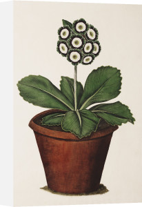 Slater's Cheshire Hero, an Auricula by James Sowerby
