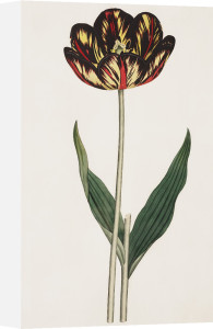 Castrum Doloris, a Bizarre Tulip by James Sowerby