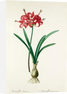 Amaryllis sarniensis by Pierre Joseph Celestin Redouté