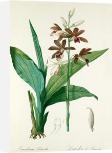 Limodorum Tankervillae by Pierre Joseph Celestin Redouté