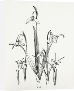 Galanthus Varieties by Graham Stuart Thomas