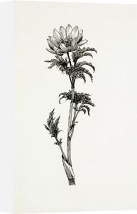 Adonis volgensis by Graham Stuart Thomas