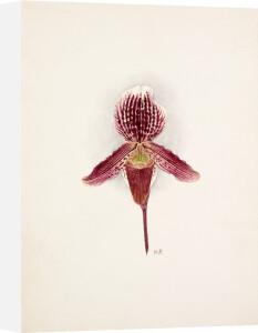 Cypripedium x Baron Schroeder by Nellie Roberts