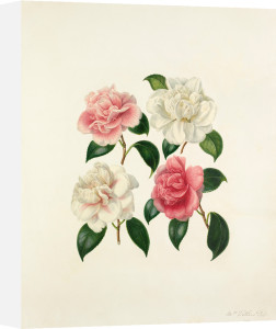 Camellia species by Augusta Innes Withers