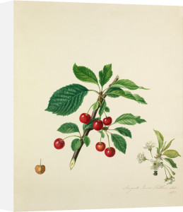 Cherry by Augusta Innes Withers