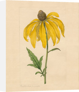 Rudbeckia pinnata by James Sowerby