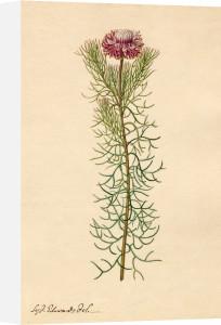 Protea by Sydenham Teast Edwards
