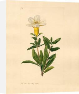 Punica Granatum. var.? by John Curtis