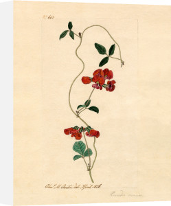 Kennedia coccinea by Charles Curtis