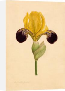 Iris 'Vandewill' by William Curtis