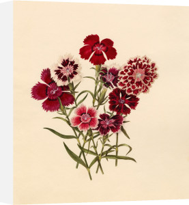 Dianthus chinensis (I) by Caroline Maria Applebee