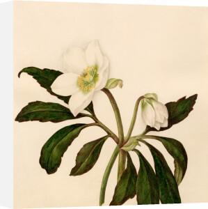 Helleborus niger by Caroline Maria Applebee