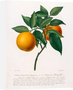 Citrus aurantium by Antonio Targioni-Tozzetti