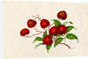 Litchi chinensis by Wang Lui Chi