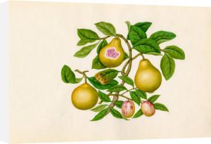 Malus prunifolia, Psidium guajava by Wang Lui Chi