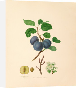 The Morocco Plum by William Hooker