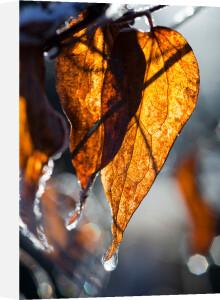 Frosty Leaf by Mark Bolton