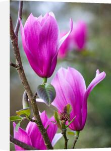 Magnolia 'Spectrum' by Mark Bolton