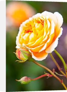 Rosa (Crown Princess Margareta) = 'Auswinter' by Lee Beel