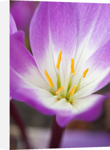 Colchicum 'Glory of Heemstede' by Carol Sheppard