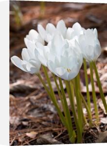 Colchicum speciosum 'Album' by Carol Sheppard