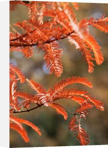 Metasequoia glyptostroboides by Carol Sheppard