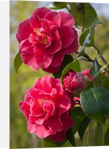 Camellia x williamsii 'William Carlyon' by Carol Sheppard