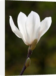 Magnolia denudata 'Giubiasco' by Carol Sheppard