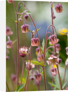 Geum rivale by Carol Sheppard