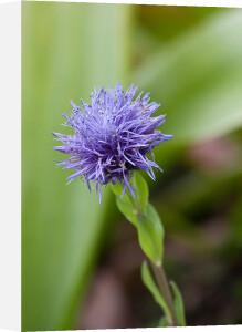 Globularia trichosantha by Carol Sheppard
