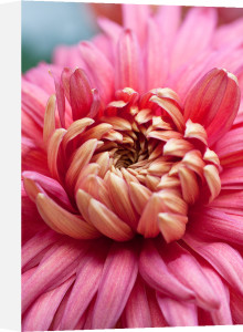 Chrysanthemum 'Bronze Mayford Perfection' by Carol Sheppard