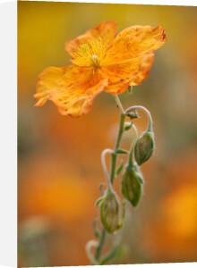 Helianthemum 'Welsh Flame' by Carol Sheppard
