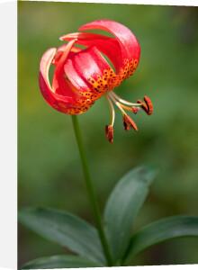 Lilium pardalinum by Carol Sheppard