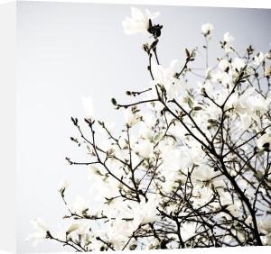 Explosion of Magnolia by Deborah Schenck