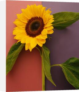 Sunflower by Deborah Schenck