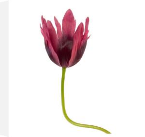 Tulip by Deborah Schenck