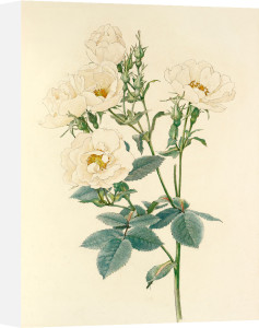 Rosa alba by Alfred William Parsons