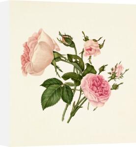 Rosa damascena 'Bella Donna', Rosa 'Mignon' by Caroline Maria Applebee