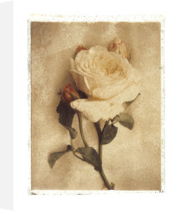 Old English Rose by Deborah Schenck