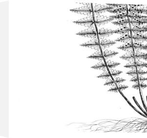 Fern III (on white) by Botanical Series