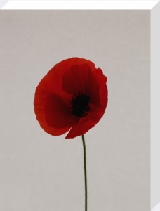 Red Poppy by Claire Brooker