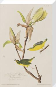 Kentucky Warbler by John James Audubon