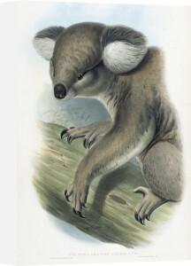Phascolarctos Cinereus (Koala Bear) by John Gould and Henry Constantine Richter