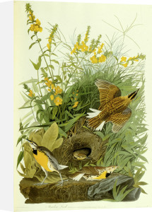 Meadow Lark by John James Audubon