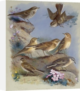 The Pipits, 1913 by Archibald Thorburn