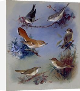 Various Warblers, 1913 by Archibald Thorburn