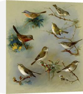 Subalpine Warbler, Dartford Warbler, Willow Wren, Wood Wren by Archibald Thorburn