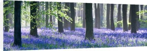 Bluebell Wood by Doug Chinnery