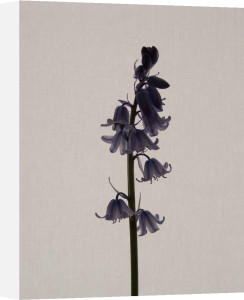 Bluebell by Claire Brooker